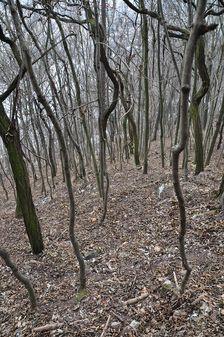 Skrúcaný les