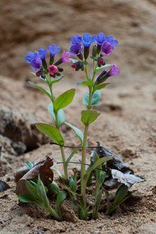 Piesočný kvet